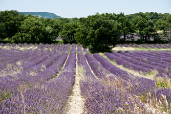 Provence: Fields of lavender